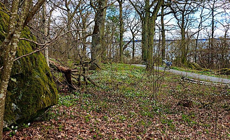 Vitsippor i skog. På en grusad väg står två cyklar.