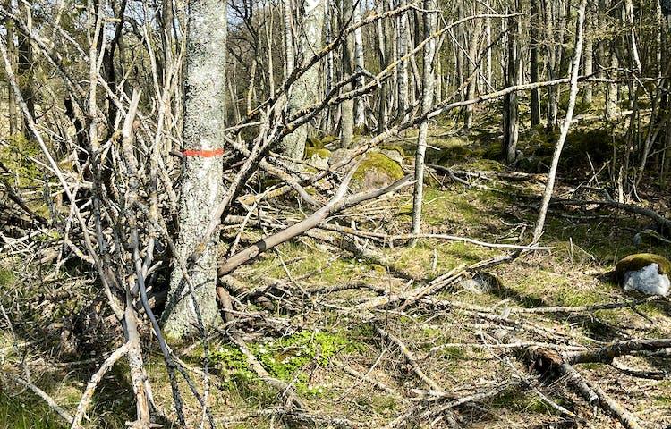 Orange ledmarkering på ett träd längs stig i vårig lövskog.