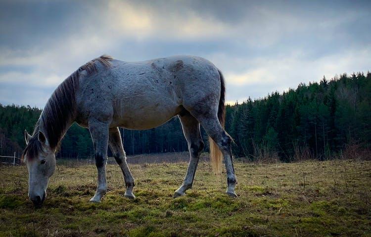 Häst som går och betar.