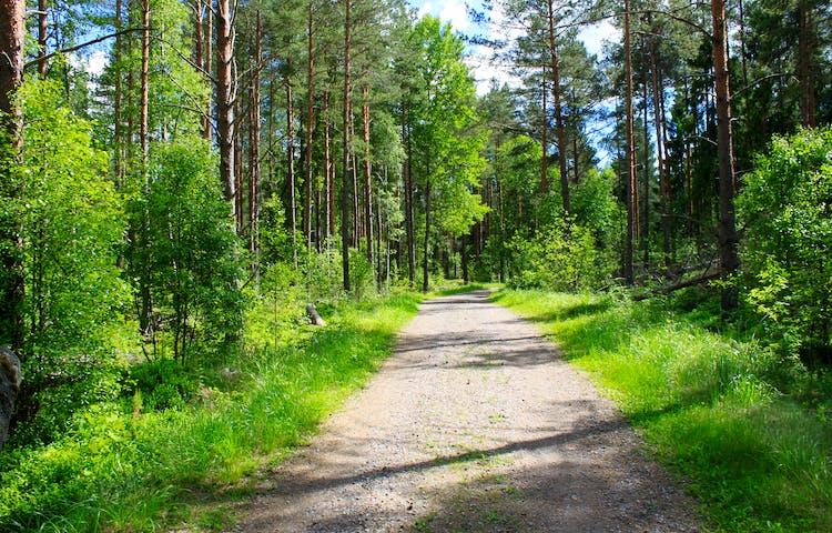 En bred grusstig går genom en ung tallskog.