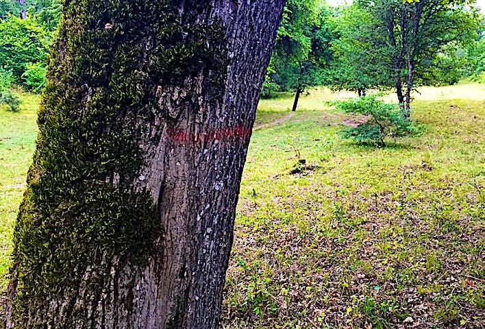 Träd med ledmarkering i lövängslandskap.