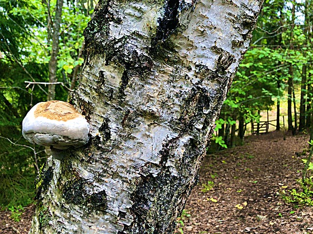 Björk med en växande svamp. En grind syns längre bort.