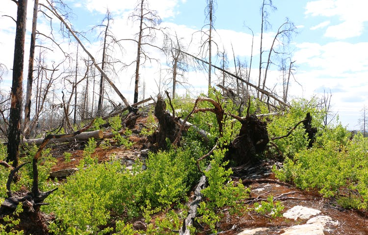 Lövsly som växer bland stående och liggande brända träd.
