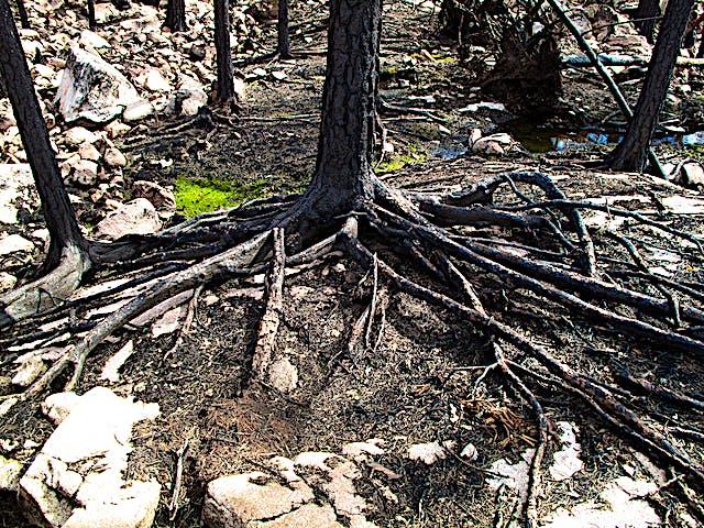 Brända trädrötter ligger nakna över mark.