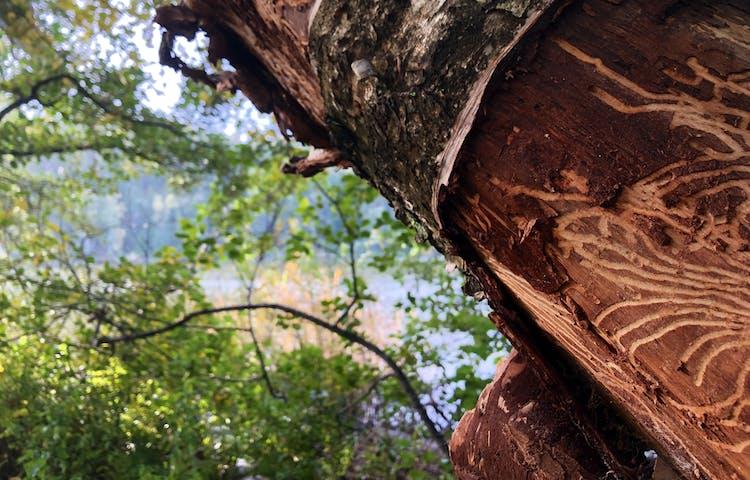 Björk med insektsgångar i ett mönster på stammen.