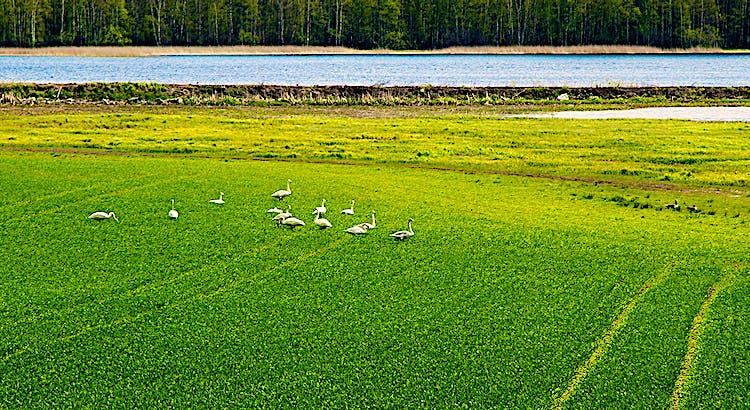 ångsvanar betar på en grön strandäng.