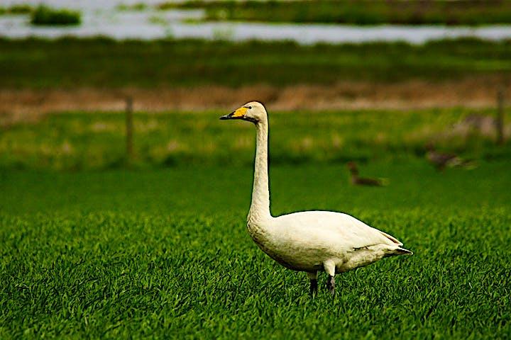 En vit svan som står på en grön åker.
