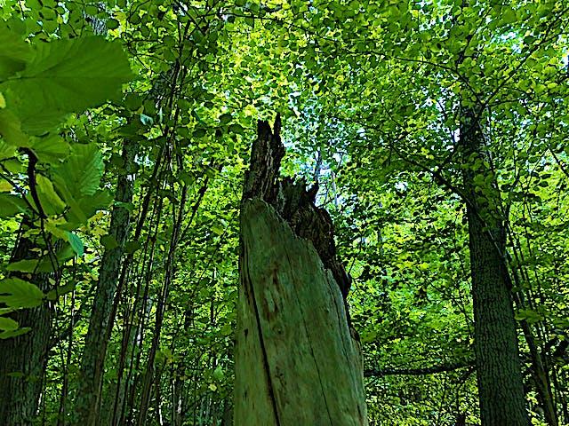 Död trästam med ljust gröna lövträd runt omkring.