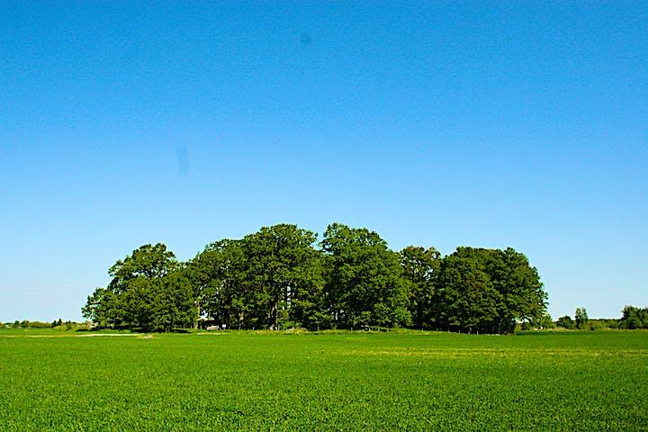 Kulle med ekar i ett åkerlandskap, grön gröda, blå himmel.