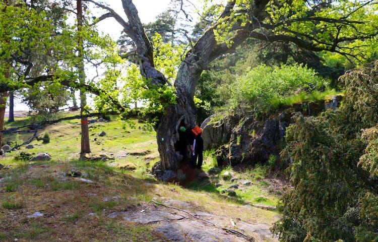 En person tittar in i en hålighet i ett träd.