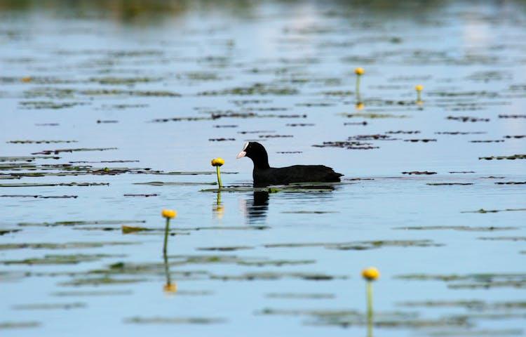 Den vattenlevande fågeln, sothöna simmar i vattnet bland gula näckrosblommor.