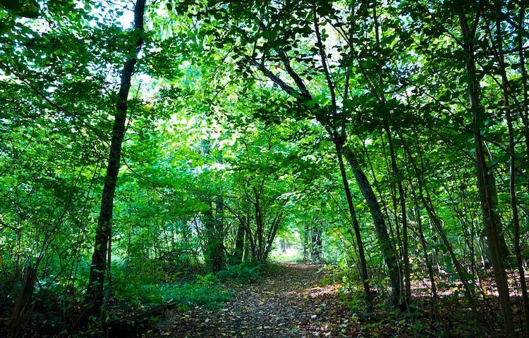 Gröna lövträd med en stig som löper under lövkronorna.