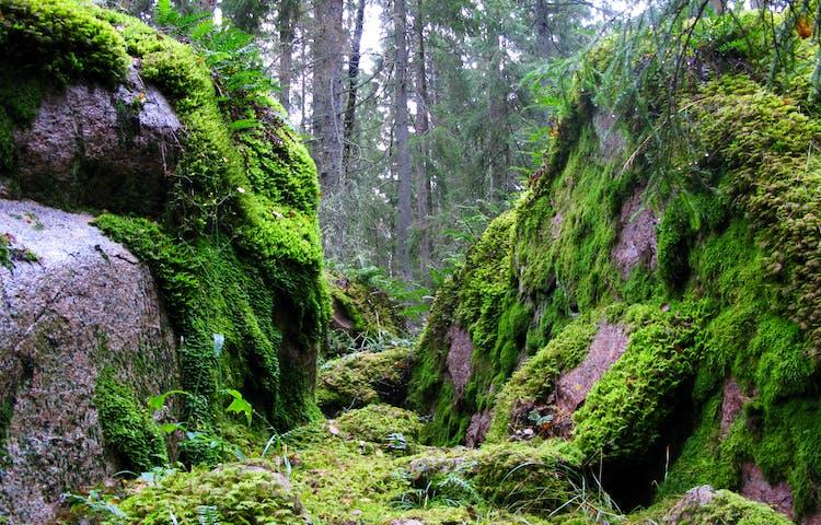 Närbild på två rejäla, mosstäckta stenblock. Mellan stenblocken skymtar tät skog fram.