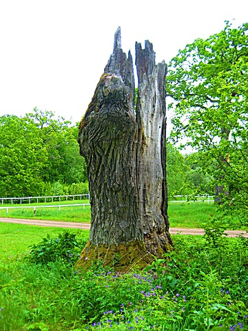 Gamalt träd med kluven stam och avsaknad av bark.