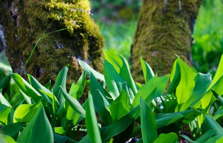 Liljekonvaljer i närbild med mossiga trädstammar i bakgrunden.