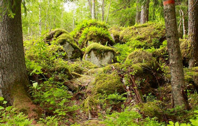 Närbild på blockrik mark i skogen. Stenblocken är täckta av mossa och det är gott om träd runtom.