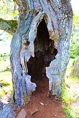 Ett gammalt träd med en stor ihålighet i stammen.