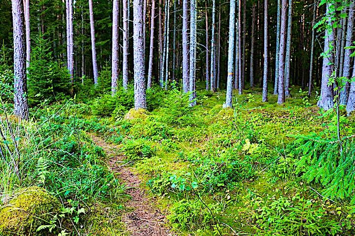 Smal skogsstig i en granskog.