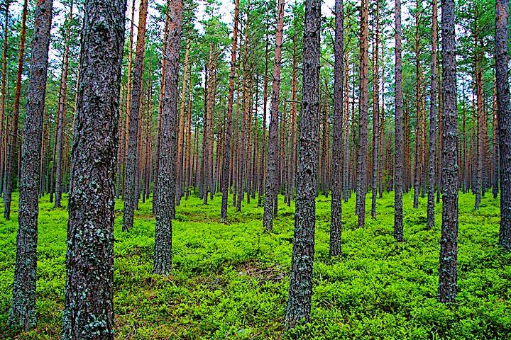 Tallskog med blåbärsris på marken.