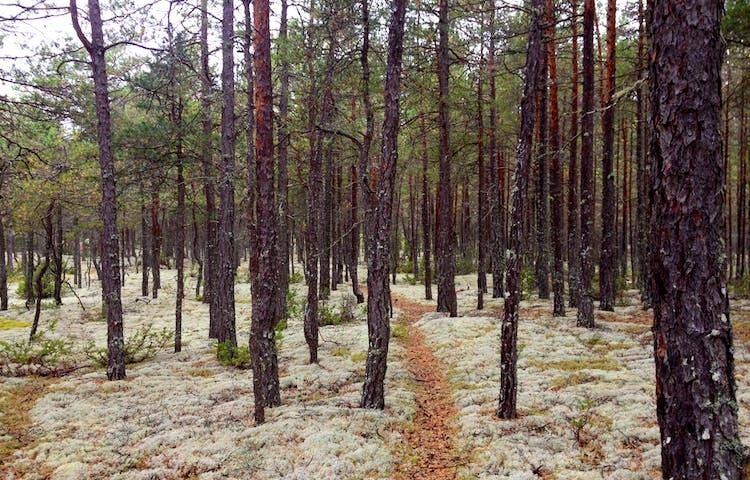 En mycket smal stig går genom tallskog. Runtom stigen växer det mycket lavar på marken.