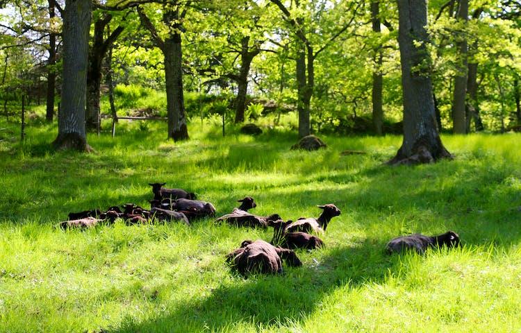 Får ligger i gräset. Träd runtikring ger dem skugga.