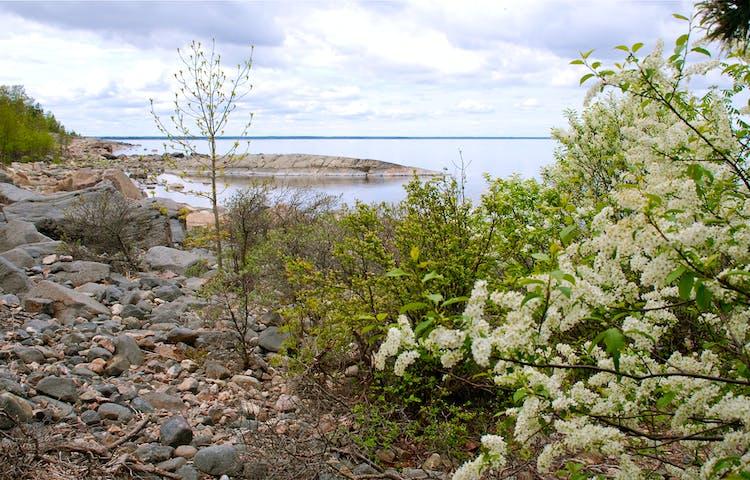 På en mycket stenig strand vid havet blommar en häggbuske med vita blommor.