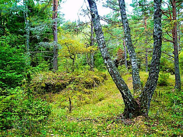 Tre björkar som växer åt varsitt håll men från samma stam.