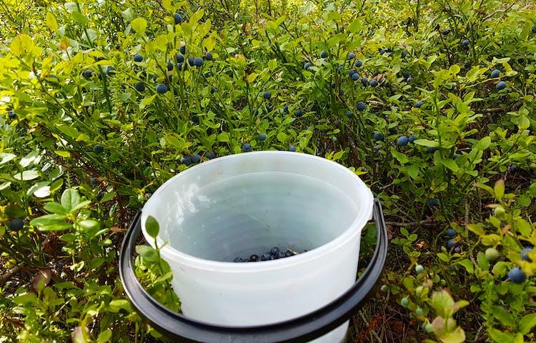 En vit plasthink där blåbär skymtar på botten, som står bland blåbärsris.