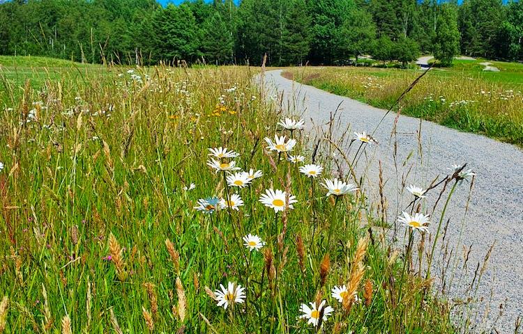 Blommor längs en grusväg. I förgrunden blommar de vita prästkragarna med gul färg i mitten..