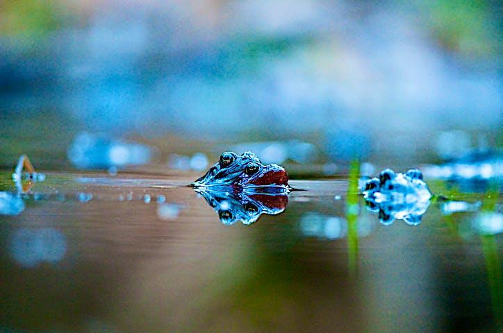 Två grodor som parar sig