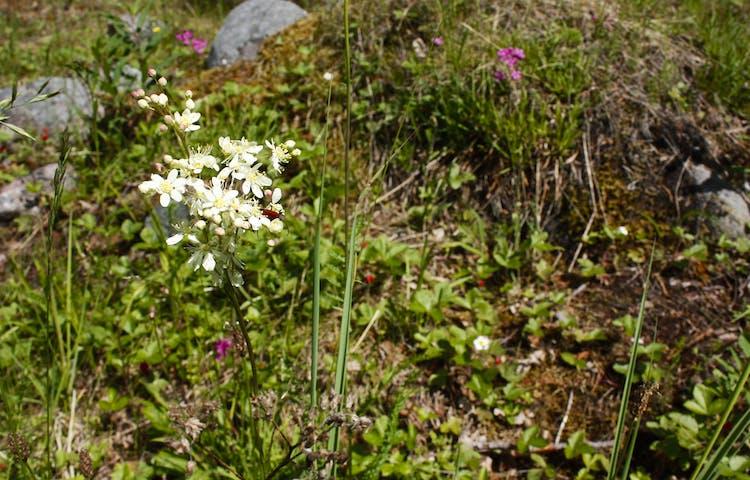 En sommaräng med flera vita och lila blommor.