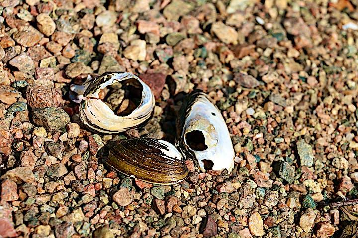 Tre trasiga musselskal.