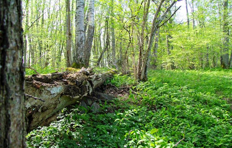Gammal liggande trädstam i grönska.