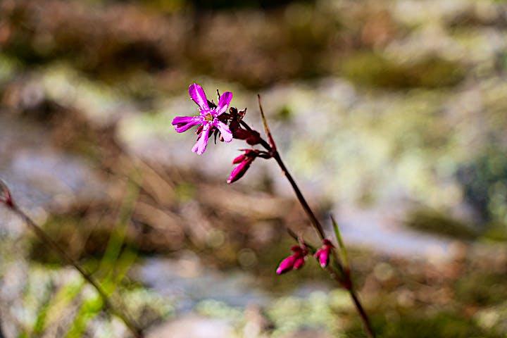 En lila blomma i närbild.