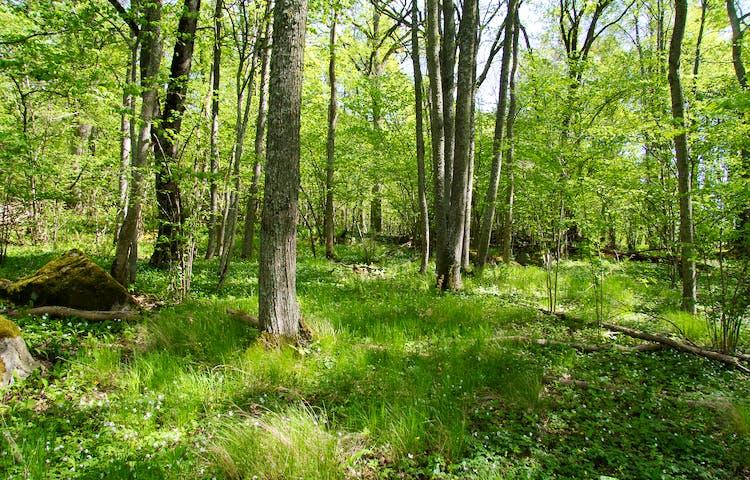 Vitsippor och gräsbeklädd mark bland träd och stenar.