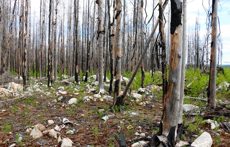 Tätt med brandskadade träd. Lite grönska på marken.
