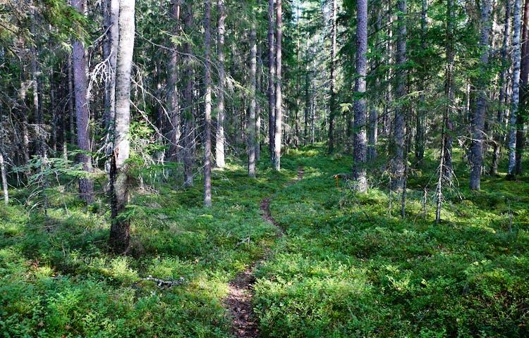 Stig i skog.