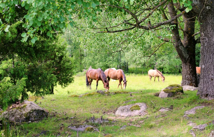 Hästar på bete i naturreservatet.
