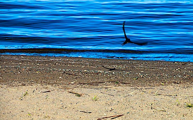 En fågel slyger nära strand- och vattenbrynet.