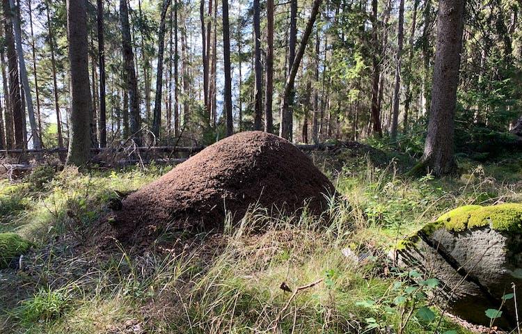 I reservatet finns många riktigt stora myrstackar. Spännande inte minst för barn! Foto: Lena Malmström