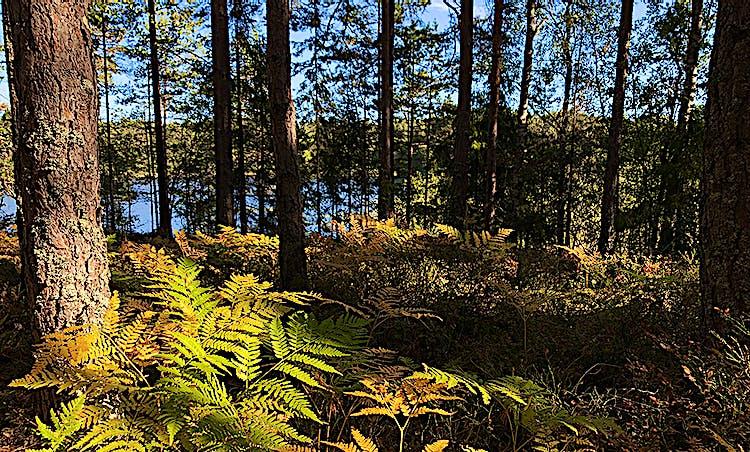 Dammstakärret syns bakom trädstammar och höstgula ormbunkar.