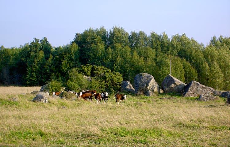 Flera kor går på bete i en hage med mycket gräs, träd och stora stenblock.