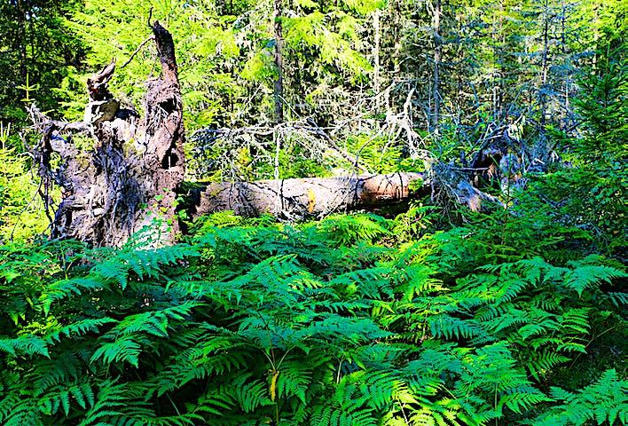 En rotvälta bland gröna ormbunkar.