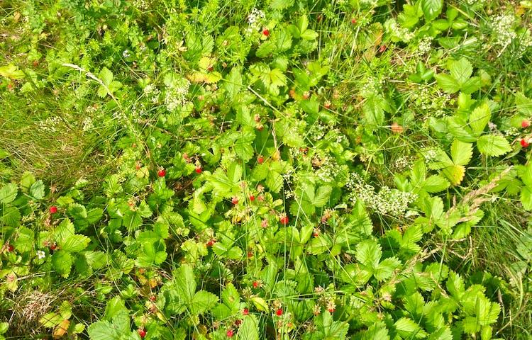 Smultronplantor på en gräsmatta.