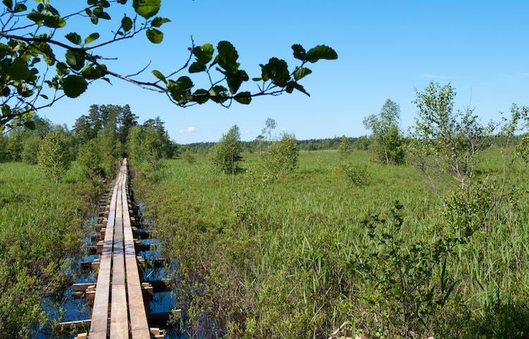 En lång träspång går över en våtmark.