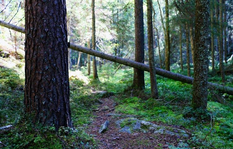 Stig med ett halvt nedfallet träd över.