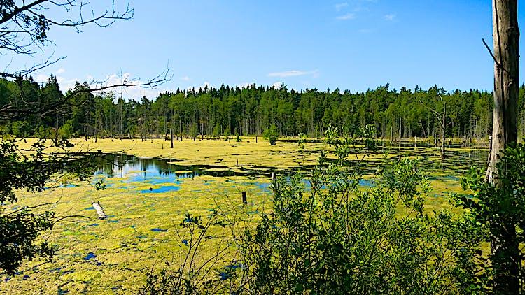 Gröna alger syns på Jordbrodammens vattenyta.