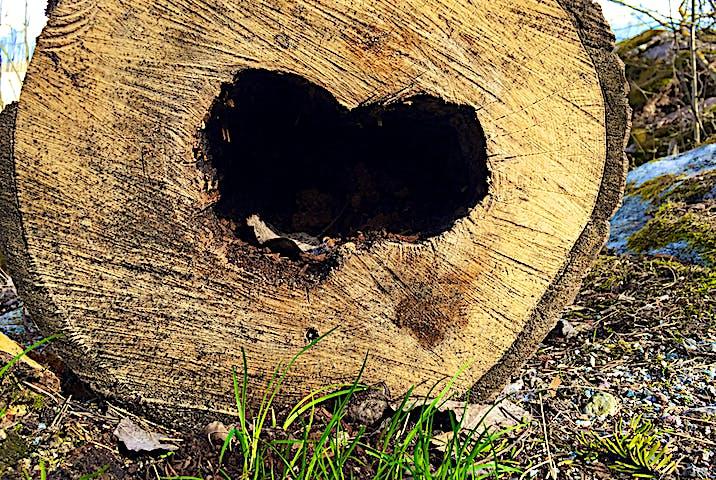 Hålighet i trädstam med formen av ett hjärta.