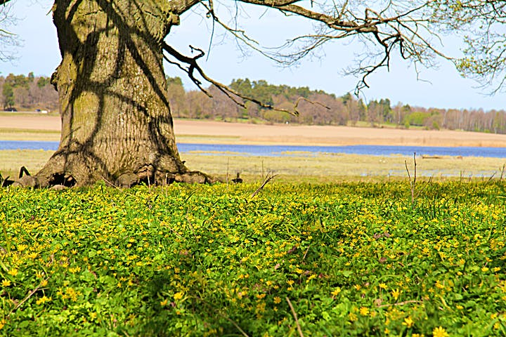 Matta av gula blommor intill en grov ekstam.