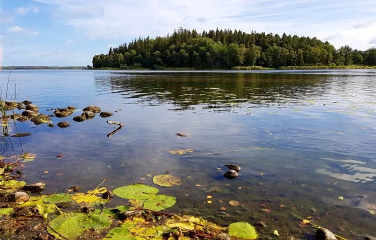 En sjö. Näckrosblad i förgrunden, en ö i bakgrunden.